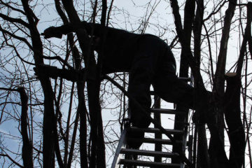 élagage-emondage paysagiste taillant un noisetier en hiver du haut de son échelle