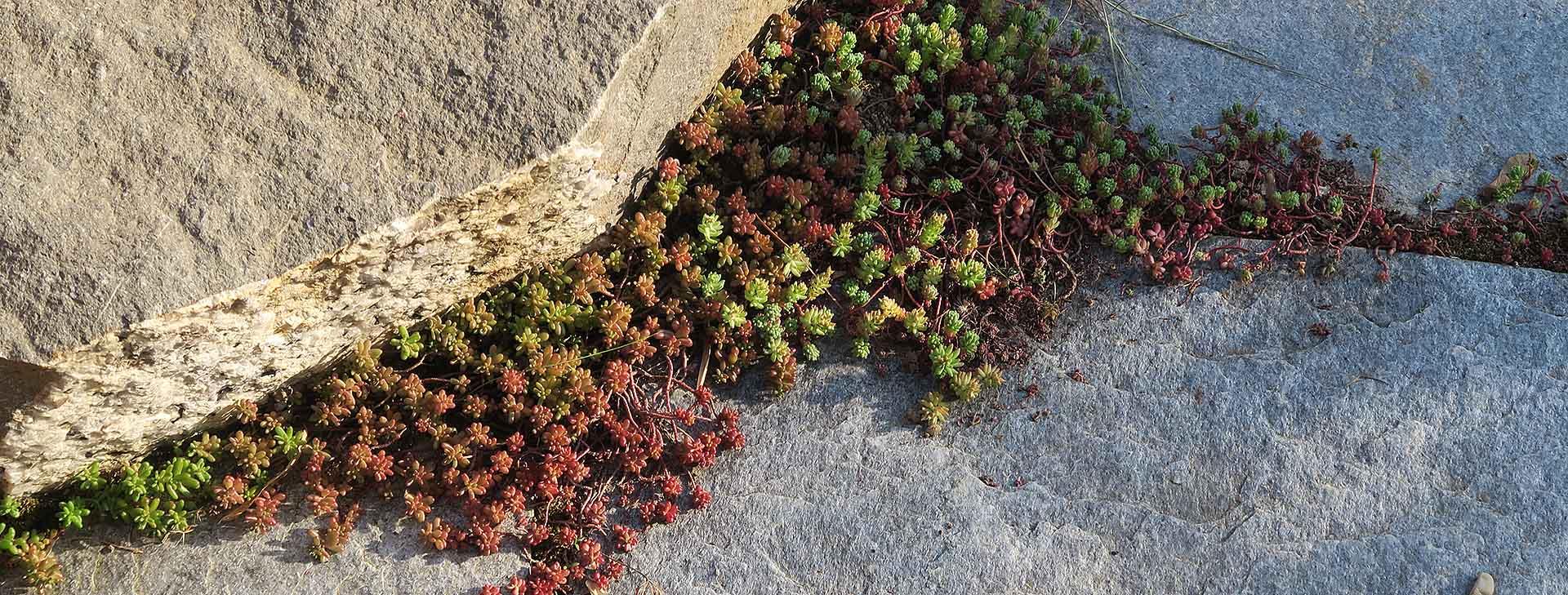 mineral-vegetal-dalles-granit-grès-sedum